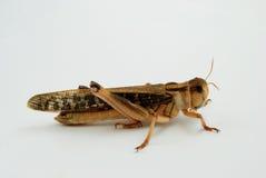 Closeupsikten av en utvandrande gräshoppa - ordna till för att hoppa Royaltyfria Bilder