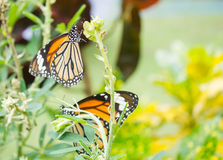 Closeupsikten av fjärilen sätta sig på blomman i trädgård Arkivfoto
