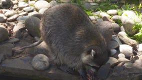 Closeupsikten av tvättbjörnen äter kött i natur parkerar stock video