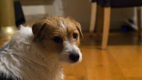 CloseupsiktsJack Russell Terrier ledsen hund som ser till kamerasammanträde på träkökgolv arkivfoto