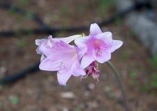 Closeupsiktsrosa färger trumpetar formad rhododendron i Italien Royaltyfri Bild