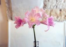 Closeupsiktsrosa färger trumpetar formad rhododendron i Italien Arkivbild