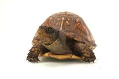 closeupsköldpadda Arkivfoton