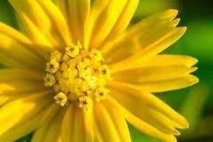 Closeupskott av en blomma för guld- knapp Royaltyfri Bild