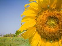Closeupsolblomma Royaltyfria Bilder