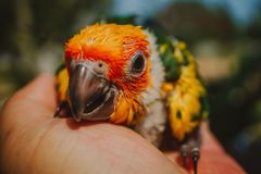 CloseupsolConure fågel royaltyfri foto