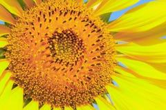 Closeupsolros Royaltyfri Fotografi