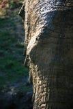 Closeupstående av den afrikanska elefanten med den partiska framsidan i motsats som tänder royaltyfria foton