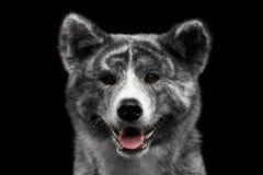 Closeupstående av den Akita inuhunden på isolerad svart bakgrund Fotografering för Bildbyråer