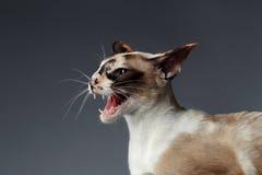 Closeupstående av den orientaliska katten för väsande ljud på blått royaltyfri foto
