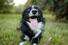 Closeupstående av den svartvita hunden som ligger på det gröna gräset under varm sommardag Arkivbild