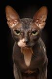 Closeupstående av den vresiga Sphynx Cat Front sikten på svart Arkivfoto