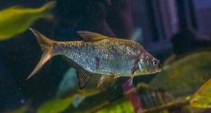 Closeupst?ende av en gemensam braxen som simmar i vattnet, skinande silverfisk, popul?rt husdjur i vattenbruk royaltyfria foton