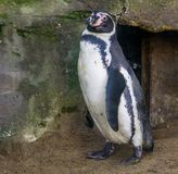 Closeupstående av en humboldt pingvin, waterbird från Stillahavskusten, djur specie med en sårbar status arkivfoto