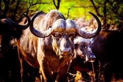 Closeupstående av en stor vattenbuffel i den Kruger nationalparken arkivfoton