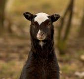 Closeupstående av ett svartvitt lamm royaltyfri fotografi