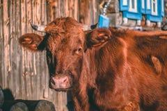 Closeupstående av kon på en sommarafton på en bybygd arkivbild