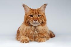 Closeupstående av Maine Coon Cat Lies på vit arkivfoto