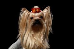 Closeupstående av Mini Yorkshire Terrier Dog med den röda pilbågen som isoleras Arkivfoto