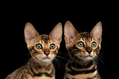 Closeupstående av två unga Bengal kattungar, isolerad svart bakgrund Royaltyfri Bild