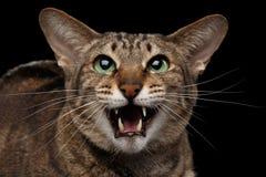 Closeupståenden roliga orientaliska Cat Meowing in camera, svärtar isolerat Royaltyfri Bild