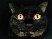 Closeupst?ende av den brittiska katten royaltyfri foto