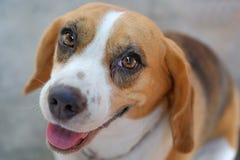 Closeupst?ende av den tricolor beaglehunden, fokus p? ?gat arkivfoton