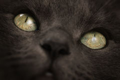 Closeupstående av den stora gråa katten med fokusen på ögon Royaltyfri Foto