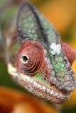 Closeupstående av en chamelion Arkivbilder