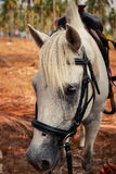 closeupstående av framsidan för vit häst Royaltyfri Bild