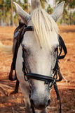 closeupstående av framsidan för vit häst Arkivbilder