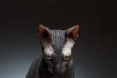 Closeupstående av Sphynx Cat Gaze Looks på svart Royaltyfri Fotografi