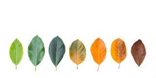Closeuptakfot i den olika färg och åldern av sidorna för jackfruitträd royaltyfri foto
