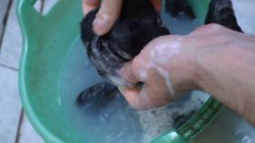 Closeuptvagningsocka i handfat vid handen händer för man` s, tvättande sockor begrepp av ensamma män stock video