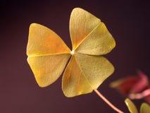 closeupväxt av släkten Trifoliumshamrock Royaltyfri Bild