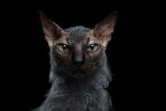 CloseupvarulvSphynx Cat Angry Looking in camera svart arkivfoto