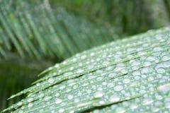 Closeupvattensmå droppar på grön cycad spricker ut i vårtid Arkivbild
