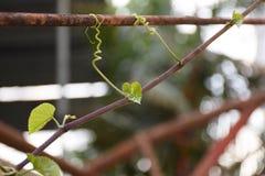 Closeupvinranka på stål Gjorda natur och man Royaltyfria Foton