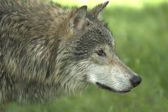 closeupwolf Royaltyfria Bilder