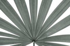 Closeupyttersida av bladet av palmträdet som isoleras på vit bakgrund i svartvit signal Arkivbild