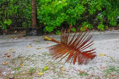 Closeuup di foglia di palma secco bagnato sul sentiero per pedoni immagine stock libera da diritti
