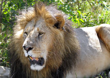 Closeview of the lion sitting near a bush Royalty Free Stock Images