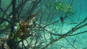 Closing up on mangroves underwater. A close up shot of mangroves` branches underwater. Green leaves are starting to grow stock footage