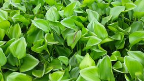 Closing up on water hyacinth stock video footage