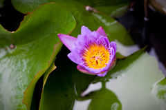 Closing Water Lily Stock Photo