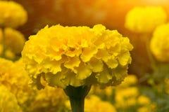 Closs вверх по желтым ноготкам цветет и греет на солнце свет Стоковое фото RF