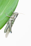 Closs up grasshopper Royalty Free Stock Photography