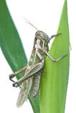 Closs up grasshopper. On white background Royalty Free Stock Photos
