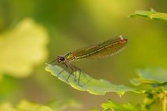 Closse para arriba de la hembra iridiscente verde congregó al Demoiselle Foto de archivo libre de regalías