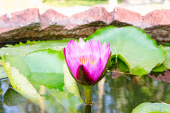 Closseup beautiful water lily or lotus flower Stock Photography